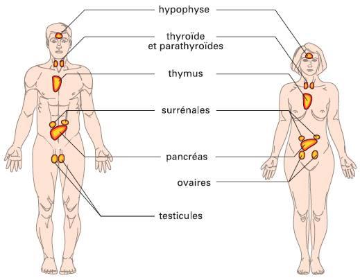 Le système endocrinien ( anatomie rapide) | Physiosciences
