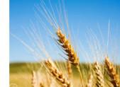 Le gluten (contenu dans le blé) est un poison pour qu'elles raisons ???
