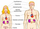 Le système endocrinien ( anatomie rapide)
