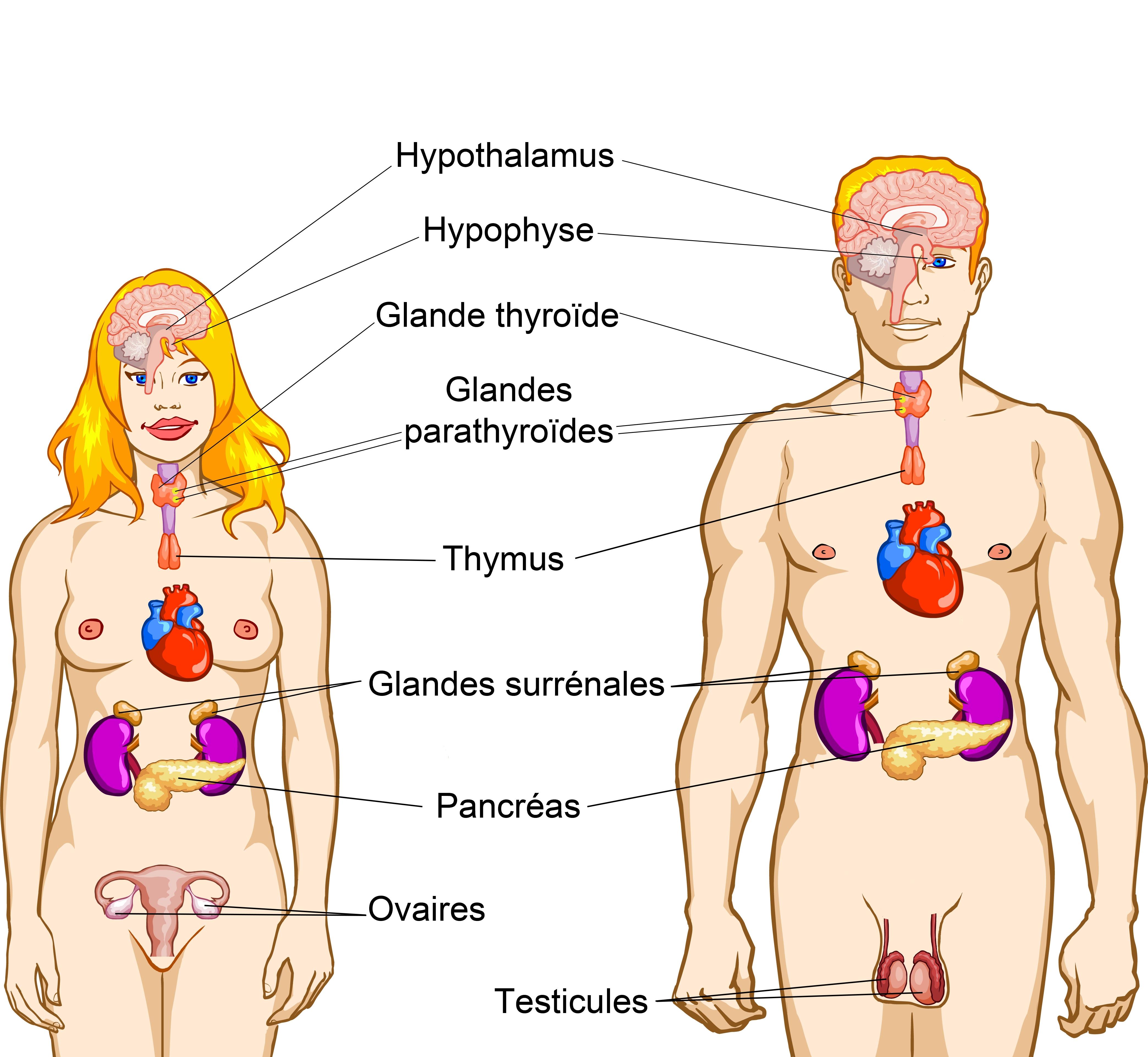 système endocriniens