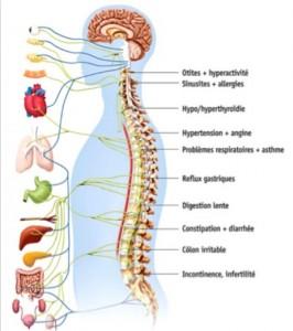 anatomie_du_Système_Nerveux_Autonome
