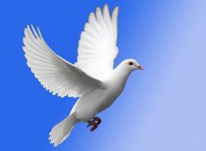 white-dove-in-flight-976408